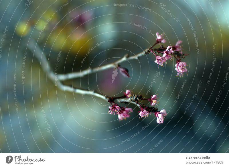 softly Farbfoto mehrfarbig Innenaufnahme Menschenleer Schwache Tiefenschärfe Pflanze Baum Blüte Blühend schön rosa Unschärfe Ast Blütenknospen gelb blau Tag