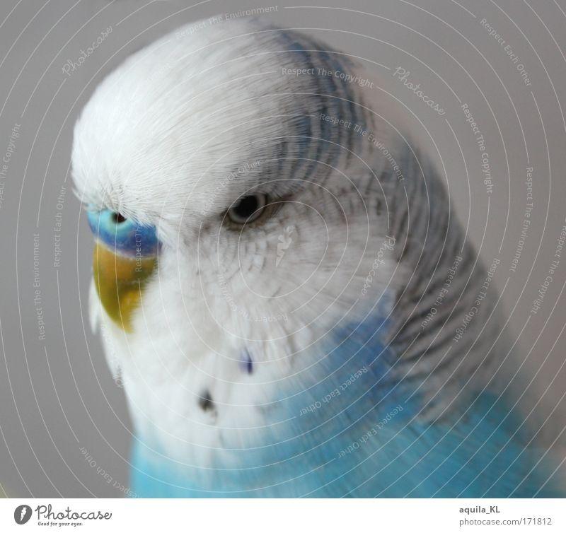 Dodo Farbfoto Innenaufnahme Menschenleer Blick Tier Haustier Wildtier Vogel einzigartig Wellensittich niedlich blau weiß blau-weiß Auge Schnabel Feder klein