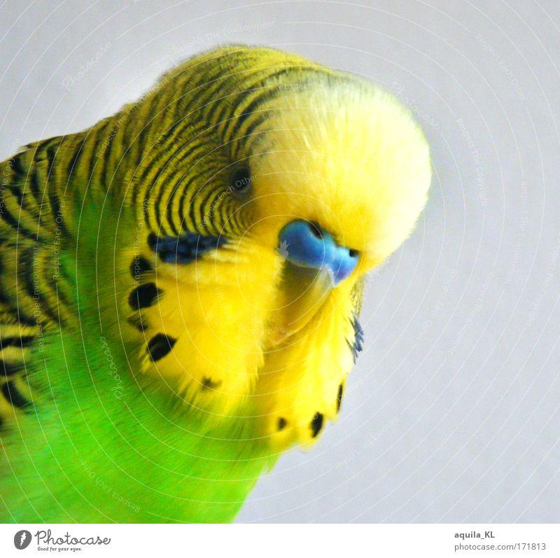Friedolin .............VS Farbfoto Innenaufnahme Menschenleer Blick in die Kamera Tier Haustier Wildtier Vogel Farbe einzigartig niedlich Wellensittich