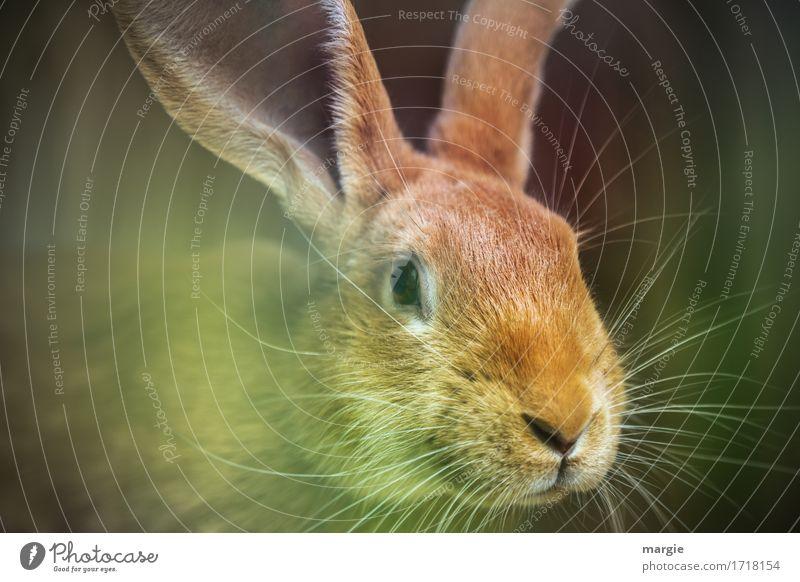 (Oster) Hase Ernährung Bioprodukte Tier Haustier Nutztier Tiergesicht 1 braun grün Ostern Hase & Kaninchen Hasenbraten Hasenohren Schnurrhaar Osterhase