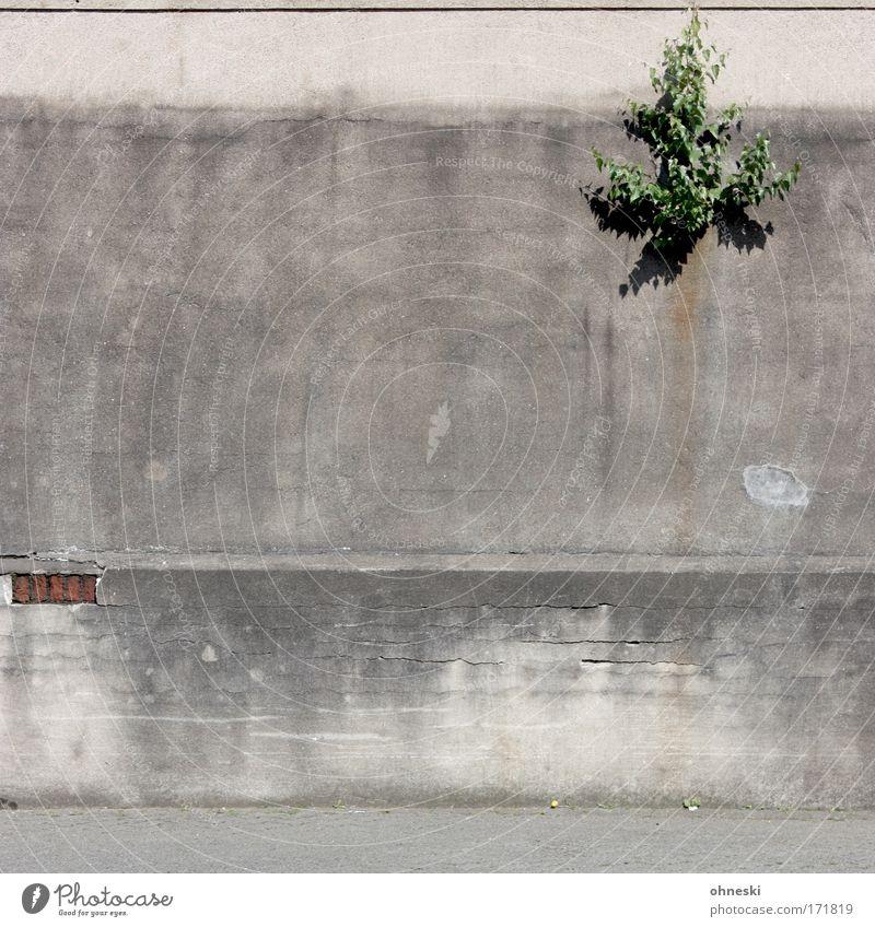Pionierpflanze Natur Baum Pflanze Haus Wand Stein Mauer Umwelt Fassade Wachstum wild Perspektive Putz Industrieanlage