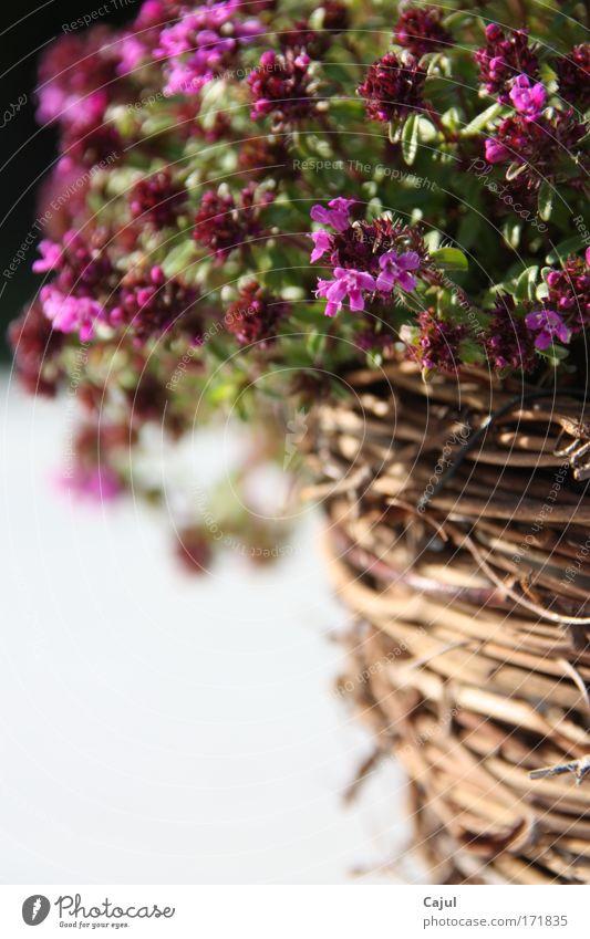 Kräuter des Südens Natur weiß grün Pflanze Sonne schwarz ruhig Erholung Umwelt Leben Ernährung Wärme Garten Blüte hell braun