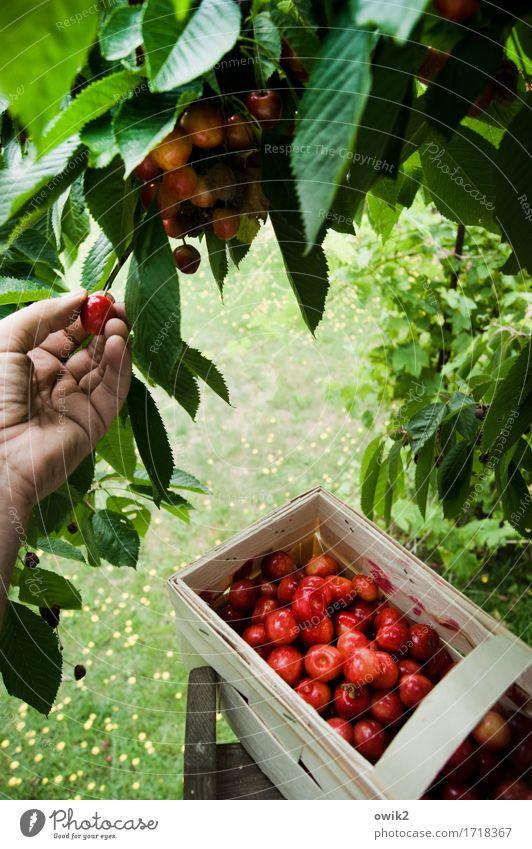 Ohne Fleiß kein Kirschkuchen Hand Finger Umwelt Natur Klima Schönes Wetter Baum Kirschbaum Kirsche Bast Korb oben süß Vorfreude Tatkraft Leidenschaft fleißig
