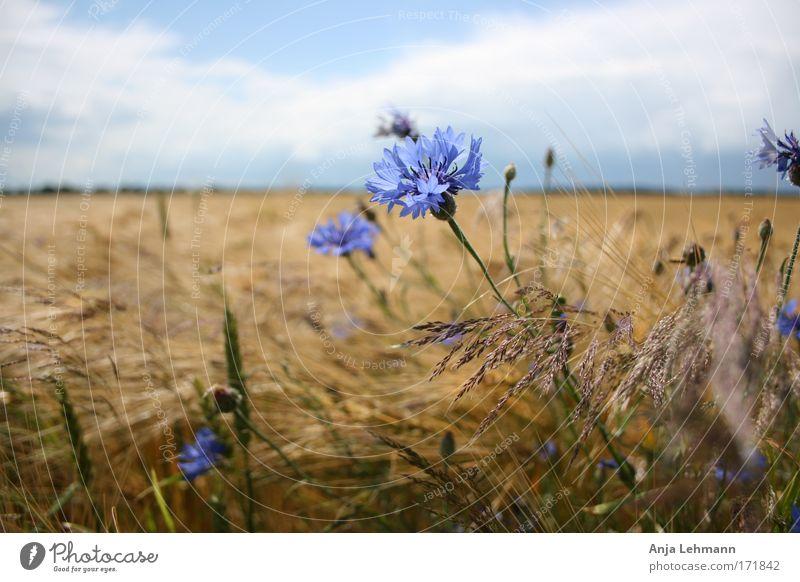 Kornblume mit Feld Farbfoto Außenaufnahme Tag Zentralperspektive Landschaft Himmel Sommer Schönes Wetter Pflanze Blume Blüte Nutzpflanze Weizen Gräser Kornfeld