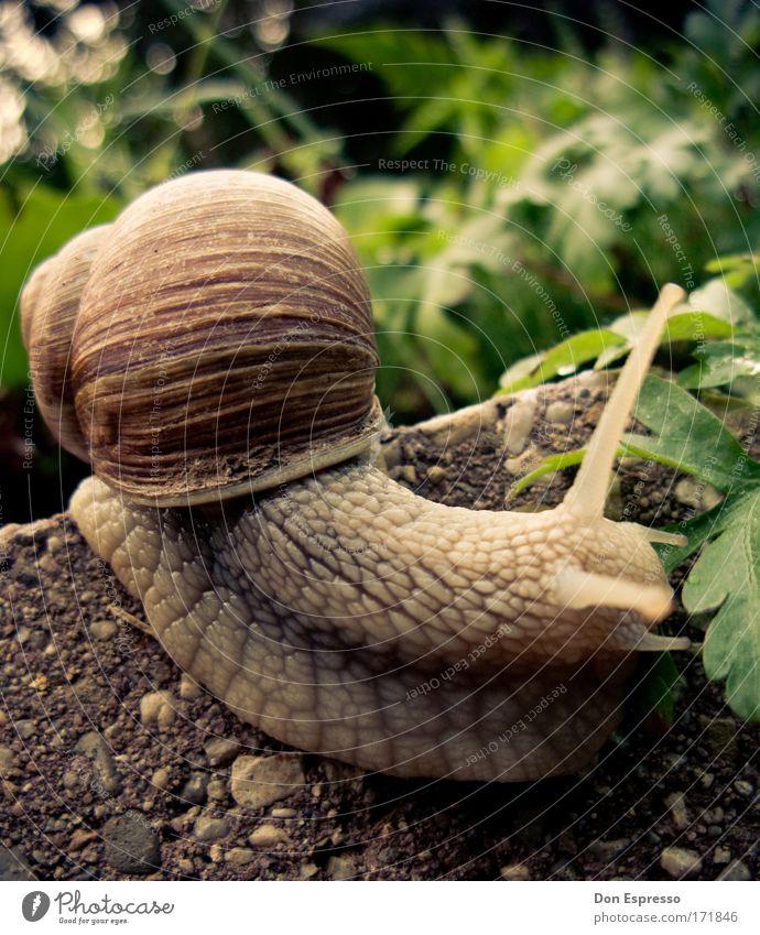 Downhill! Natur Pflanze ruhig Tier Umwelt Erde Geschwindigkeit Gelassenheit Schnecke Fühler krabbeln langsam schleimig Schneckenhaus Schleim Schleimspur