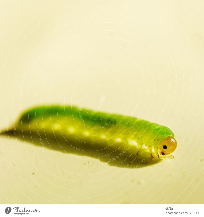 die kleine Raupe Neongrün Natur Pflanze Tier gelb Auge Umwelt Landschaft Wildtier Fröhlichkeit niedlich Tiergesicht Umweltschutz geduldig