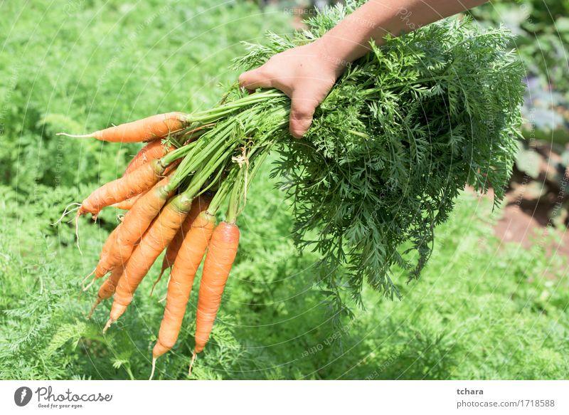 Möhren Gemüse Vegetarische Ernährung Sommer Garten Gartenarbeit Mensch Hand Natur Pflanze Erde Blatt frisch natürlich Sauberkeit grün Halt Haufen organisch
