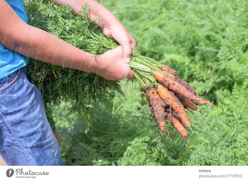 Möhren Mensch Natur Pflanze Hand Blatt natürlich Garten dreckig frisch Gemüse Bauernhof Ernte Ackerbau Vegetarische Ernährung Gartenarbeit horizontal