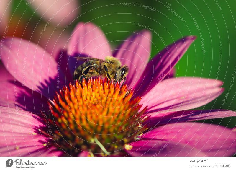 Biene Natur Pflanze Tier gelb Blüte orange Arbeit & Erwerbstätigkeit violett Biene nachhaltig Fressen Ausdauer Nutztier fleißig Sonnenhut Roter Sonnenhut