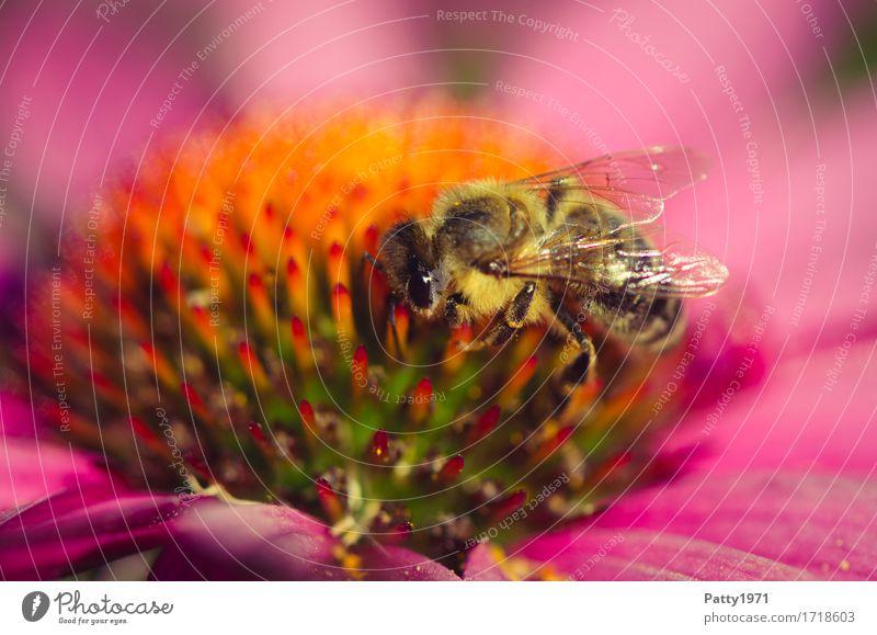 Pollensammlerin Pflanze Blume Blüte Sonnenhut Roter Sonnenhut Tier Nutztier Biene 1 Arbeit & Erwerbstätigkeit Fressen krabbeln gelb violett orange fleißig