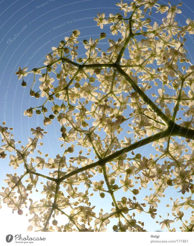 Hollerbusch... Farbfoto Außenaufnahme Nahaufnahme Detailaufnahme Menschenleer Textfreiraum oben Morgen Schatten Sonnenlicht Gegenlicht Froschperspektive Umwelt