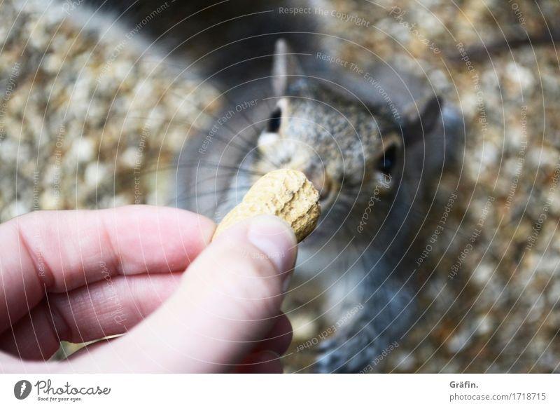 Nusshörnchen Natur Tier Umwelt grau braun Park Wildtier genießen niedlich Abenteuer Neugier Vertrauen Tiergesicht Fressen frech Interesse