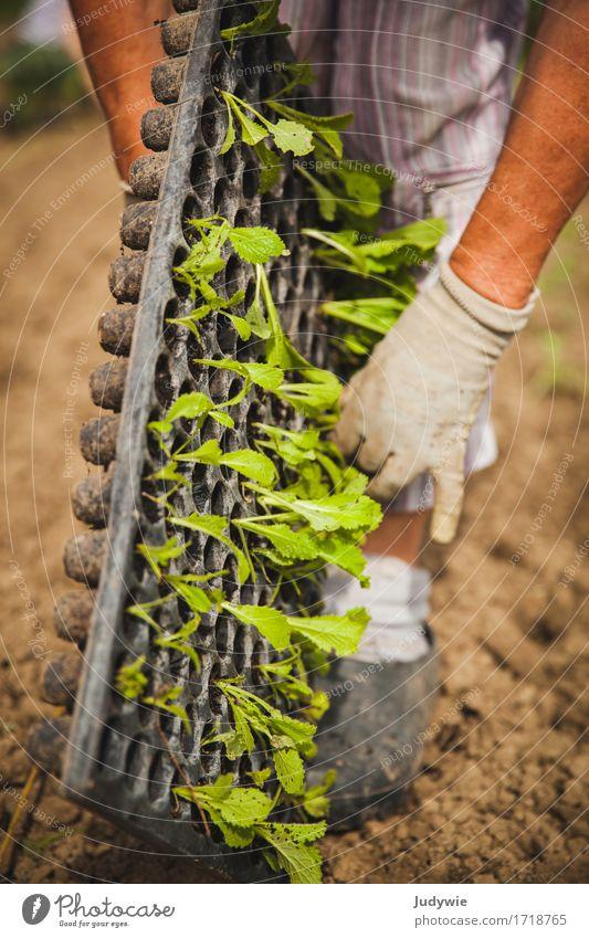 Ab in die Erde Gemüse Salat Salatbeilage Freizeit & Hobby Sommer Gartenarbeit Gärtner Landwirtschaft Forstwirtschaft Mensch Weiblicher Senior Frau Hand