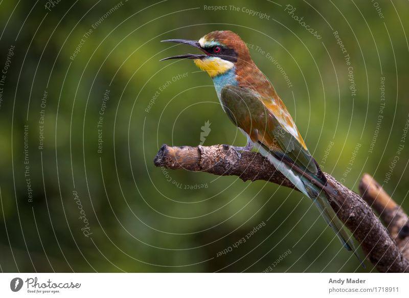 Bienenfresser (Merops apiaster) Natur blau grün Tier gelb braun Vogel Wildtier verrückt exotisch Schnabel