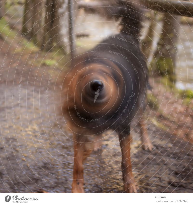 Hund-Nase-Propeller Hund Tier Wärme Leben natürlich Bewegung Schwimmen & Baden braun Warmherzigkeit niedlich Spaziergang sportlich Fell Haustier Tierliebe schütteln