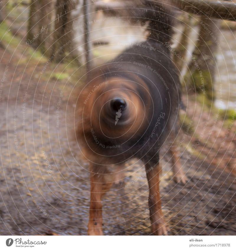 Hund-Nase-Propeller Tier Haustier 1 Schwimmen & Baden Bewegung natürlich niedlich sportlich Wärme braun Warmherzigkeit Tierliebe Leben schütteln Fell