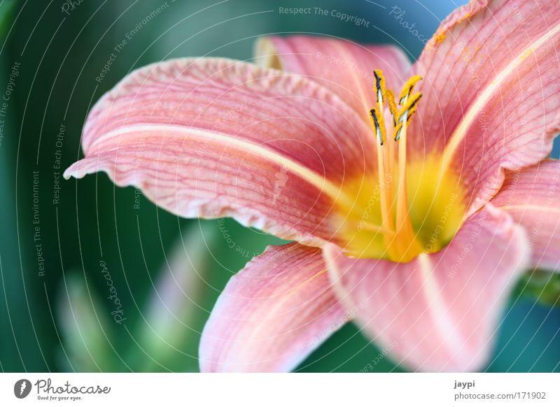 Löwenzahn Natur schön Blume Pflanze rot Sommer ruhig gelb Blüte rosa Umwelt nah authentisch gut Falte Duft