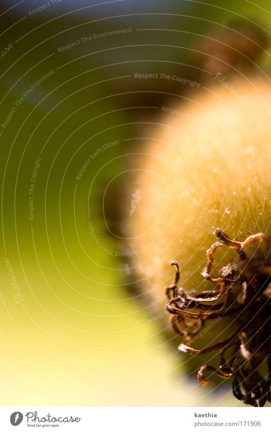 it´s raining Frucht Kiwi Ernährung Vegetarische Ernährung Pflanze exotisch Sträucher Blühend hängen Wachstum grün Vitamin tropisch Neuseeland fruchtig Sommer