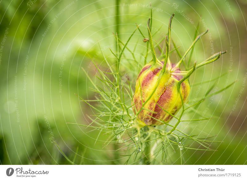 Nigella damascena Natur Pflanze grün Blume Erholung ruhig Tier Umwelt Blüte Gefühle Wiese rosa Zufriedenheit leuchten frisch ästhetisch