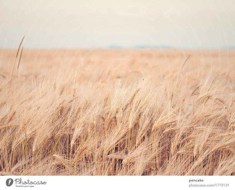 flauschig | roggenfell Getreide Ernährung Natur Landschaft Urelemente Himmel Sommer Schönes Wetter Nutzpflanze Feld kuschlig trocken feminin weich Horizont