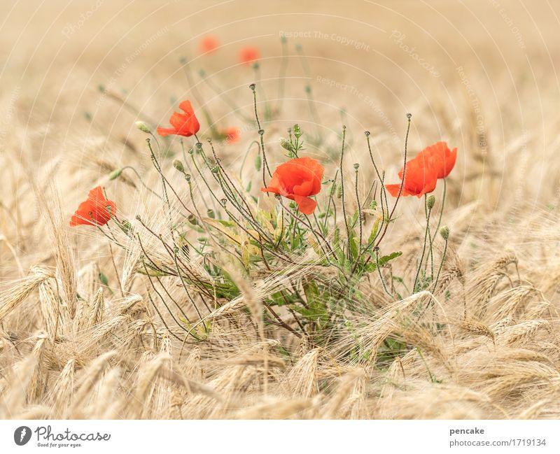 mohntagskinder Natur Landschaft Sommer Schönes Wetter Pflanze Blüte Nutzpflanze Feld authentisch blond Fröhlichkeit heiß schön gelb gold rot Design