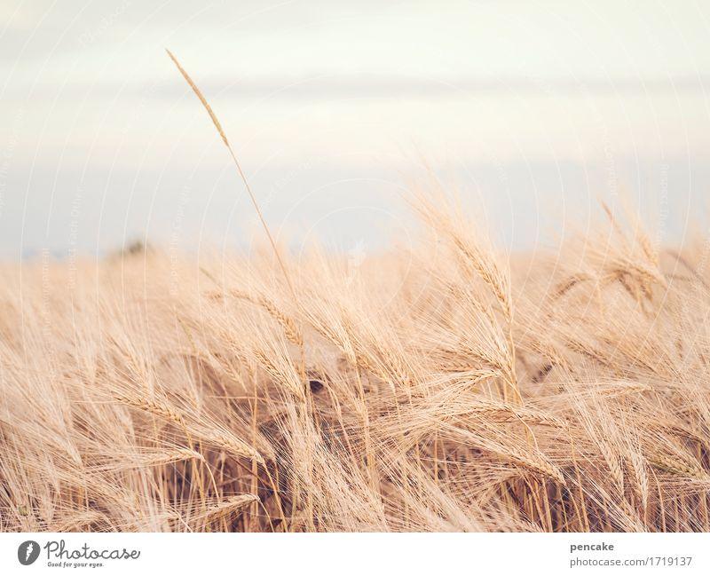 ährenfeld Landschaft Urelemente Himmel Sommer Pflanze Feld frei nachhaltig trocken ästhetisch Design Gelassenheit Klima Leichtigkeit Überleben Roggenähren