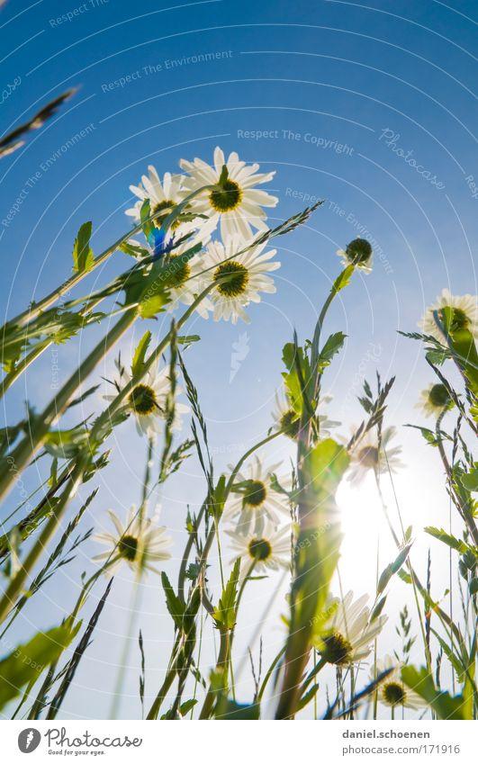 Hochformatsommerwiese Farbfoto Textfreiraum oben Licht Sonnenlicht Sonnenstrahlen Gegenlicht Froschperspektive Natur Pflanze Wolkenloser Himmel Sommer