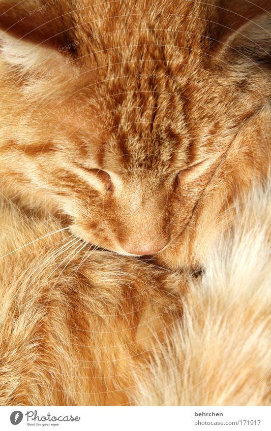 zum liebhaben Auge Glück Katze Zufriedenheit orange Nase Sicherheit Ohr weich Tiergesicht Schutz Vertrauen Fell Warmherzigkeit niedlich genießen