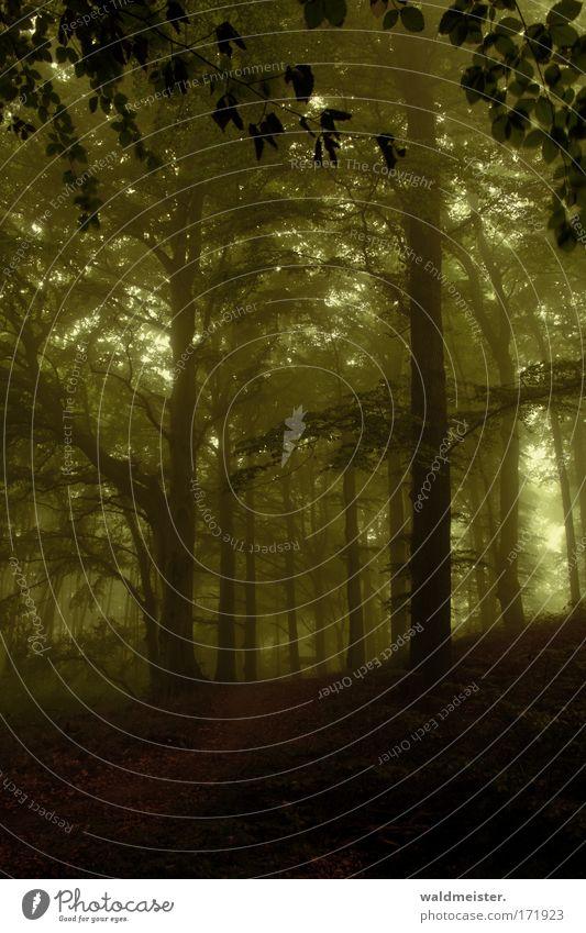 Wald Natur Baum grün Blatt dunkel Angst Nebel Romantik gruselig Urwald mystisch unheimlich Dunst Forstwirtschaft Märchenwald
