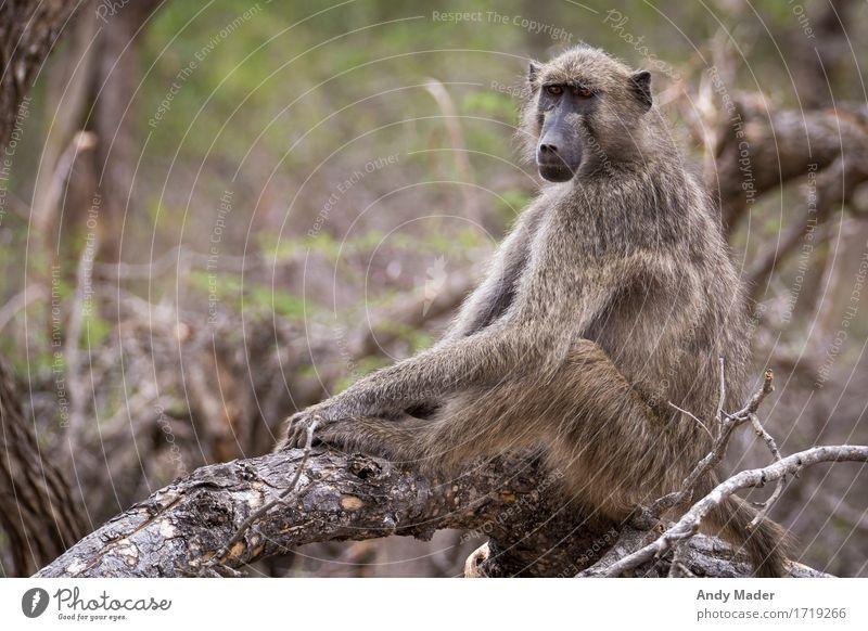 Affe am chillen Wildtier Affen 1 Tier stark Erholung Farbfoto Tierporträt