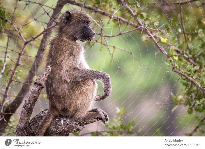 Affe am chillen Natur Erholung Tier Wildtier sitzen genießen beobachten Coolness Affen