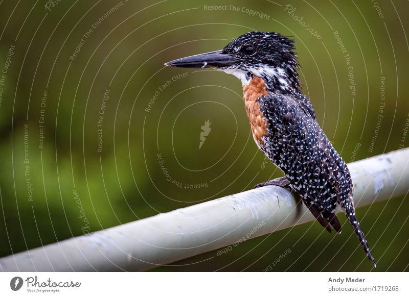 Eisvogel Natur Tier exotisch Wildtier Vogel Eisvögel Giant Kingfisher 1 gigantisch glänzend groß schön braun schwarz weiß Farbfoto Außenaufnahme Nahaufnahme