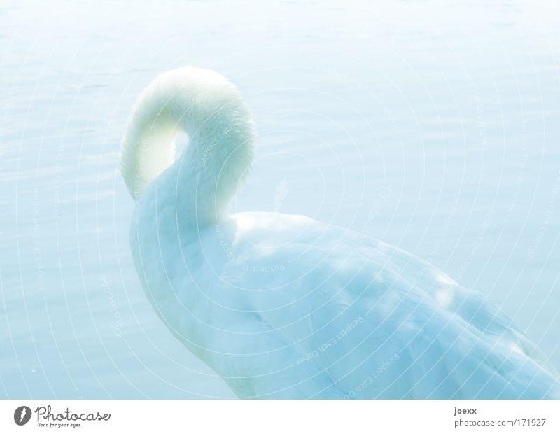 Schwanenhals Farbfoto Außenaufnahme Tag Licht Lichterscheinung Sonnenlicht High Key Wegsehen Wasser Tier 1 Bewegung Reinigen stolzieren hell Schwanensee Feder