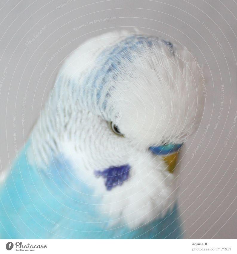 Engelchen Farbfoto Menschenleer Blick nach unten Tier Haustier Wildtier Vogel 1 hell schön klein nah verrückt wild weich blau weiß Wellensittich Papageienvogel