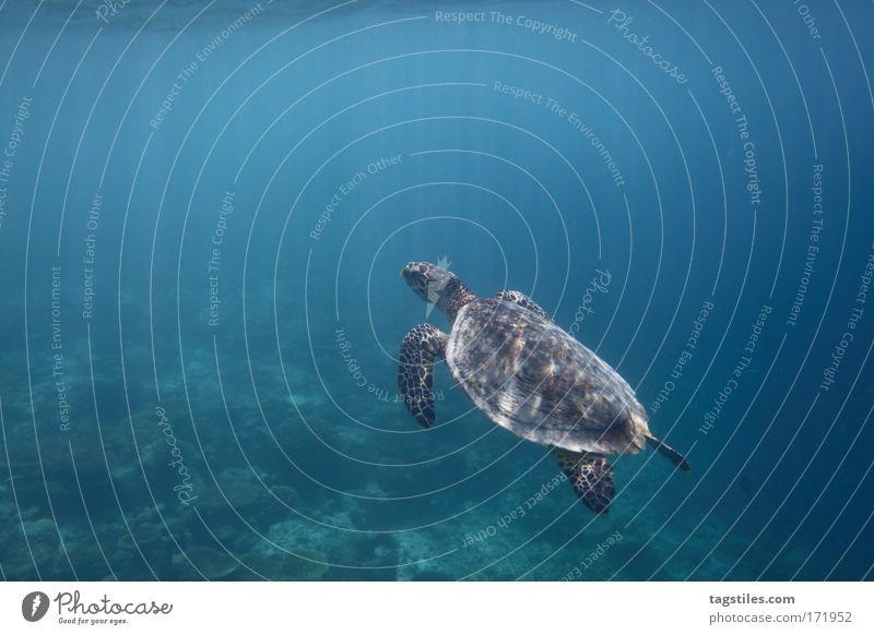 MR. TURTLE Schildkröte Reptil Malediven Angaga Hausriff Riff Korallenriff Meerestier tauchen Schnorcheln Natur Idylle ruhig Erholung Tourismus Lichtstrahl