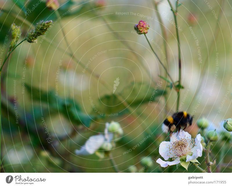 Hummelflug Natur Blume grün Pflanze rot Sommer Ferien & Urlaub & Reisen Tier gelb Gras Bewegung träumen Zufriedenheit Feld rosa Umwelt