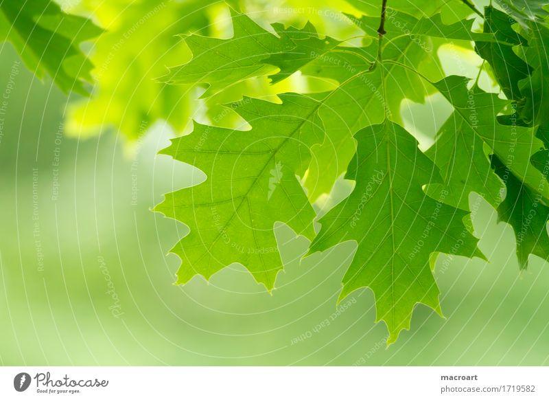Eiche Eichenblatt Blatt Sommer Frühling grün Natur natürlich frisch Ast Nahaufnahme Zweig