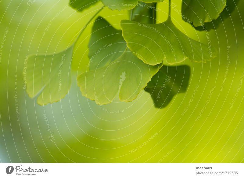 Ginkgo Ginko ginkgo china baum laubbaum pflanzlich blatt Ginkgo biloba blätter heilmittel sommer grün wellness spa relax medizinisch heilpflanze husten floral