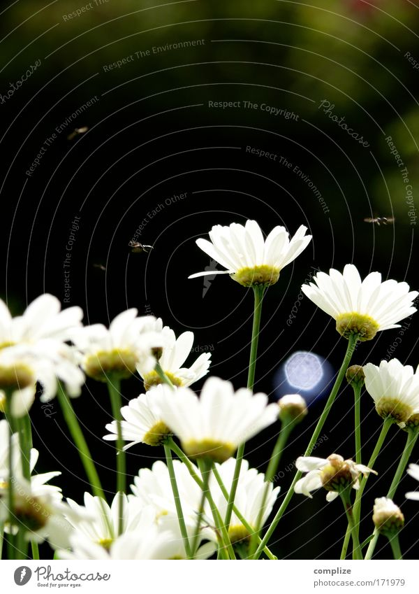 fliegen Natur Blume grün Pflanze Sommer Tier Gras Landschaft Fliege Umwelt Klima Lebensfreude natürlich Blühend Schönes Wetter Margerite