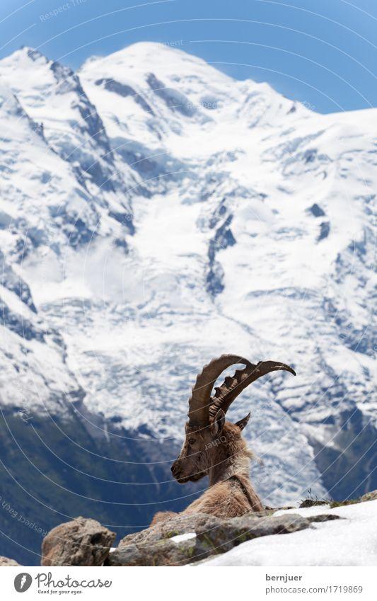 Steinbock Natur Landschaft Sommer Schönes Wetter Berge u. Gebirge Gipfel Schneebedeckte Gipfel Gletscher Wildtier 1 Tier sitzen kalt blau braun weiß