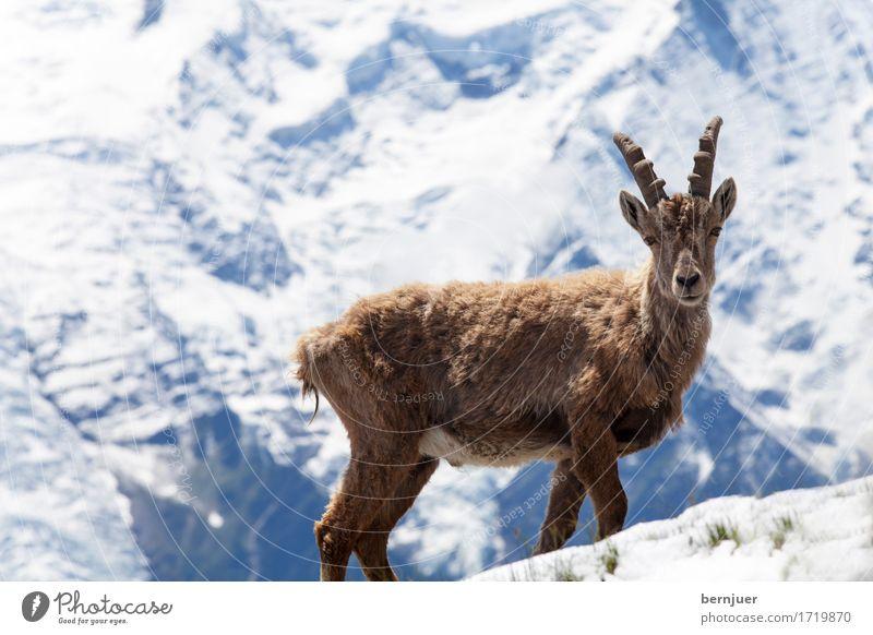 Stoabog Schönes Wetter Berge u. Gebirge Mont Blanc Schneebedeckte Gipfel Wildtier 1 Tier beobachten authentisch braun weiß Kraft Steinbock Alpen Gletscher