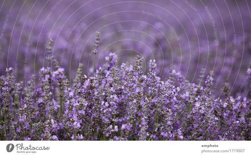 Lavendelblüten auf einem Feld Medikament Duft Kur Garten Natur Pflanze Blume Blüte Blumenstrauß natürlich Farbe Ackerbau Feldfrüchte Haufen purpur duftig