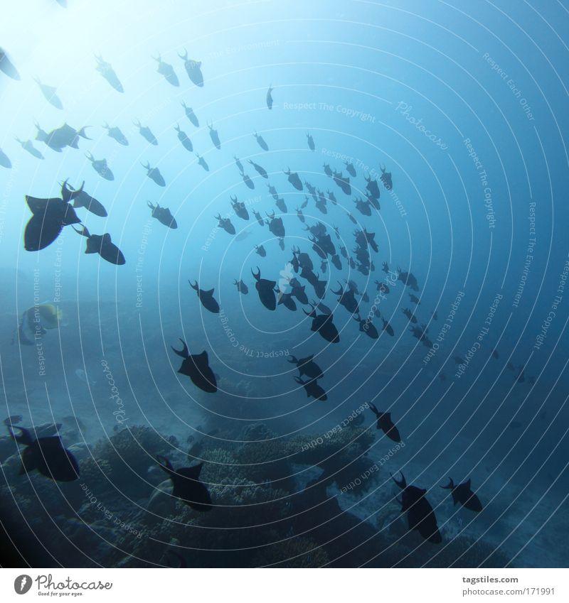 DIE EBENE HALTEN Malediven tauchen Fisch Fischschwarm Schwarm Formation formieren Ordnung sortieren Ferien & Urlaub & Reisen Meer Indien Tourismus blau Angaga