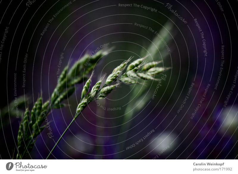 Heuschnupfen VIII. Natur schön grün blau Pflanze Sommer Wiese Gras Frühling Park Feld Wind Umwelt ästhetisch violett