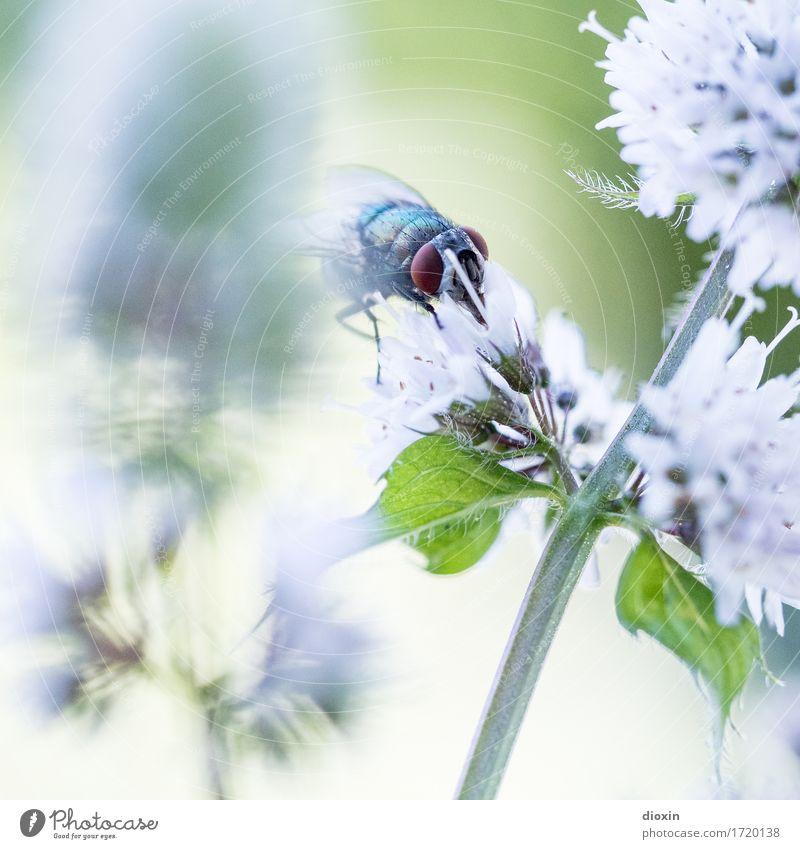 Feinschmecker Umwelt Natur Pflanze Tier Blatt Blüte Minze Minzeblatt Garten Fliege Insekt Schmeißfliege 1 Blühend Fressen natürlich Duft Farbfoto Außenaufnahme