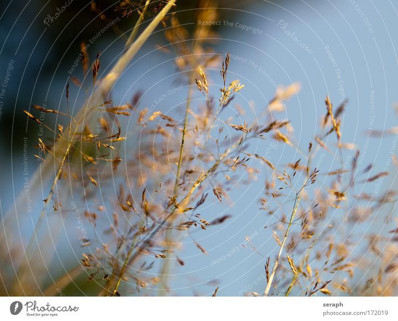Grasland Natur Pflanze Wiese Gras Hintergrundbild Wachstum weich Blühend Schilfrohr Botanik fein Gartenarbeit pflanzlich geblümt
