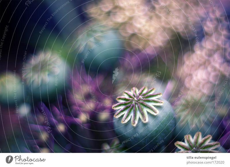 1 schön alt Blume Pflanze dunkel Blüte träumen Zeit ästhetisch rund Sträucher nah violett fantastisch Unendlichkeit außergewöhnlich
