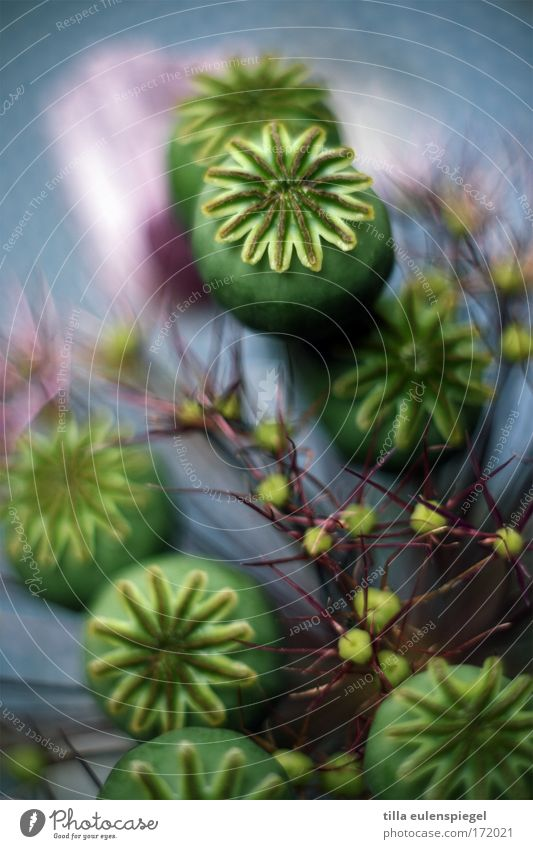 2 schön alt Blume grün blau Pflanze Blüte Kraft ästhetisch Sträucher einzigartig fantastisch Lebensfreude außergewöhnlich Blumenstrauß Mohn