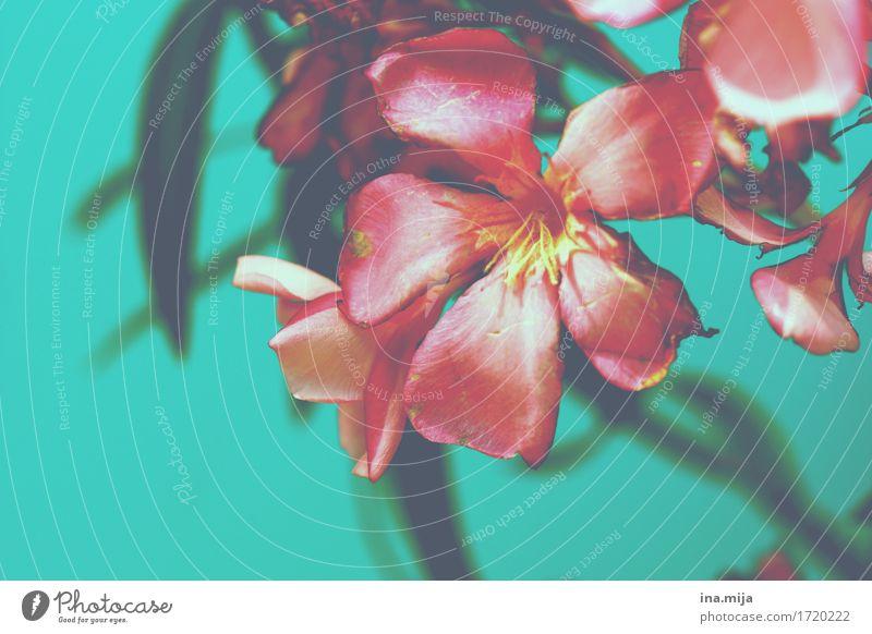 sommerlich Natur Pflanze Sommer schön Blume Umwelt Blüte Garten rosa Park Blühend nah Fernweh türkis Sommerurlaub Duft
