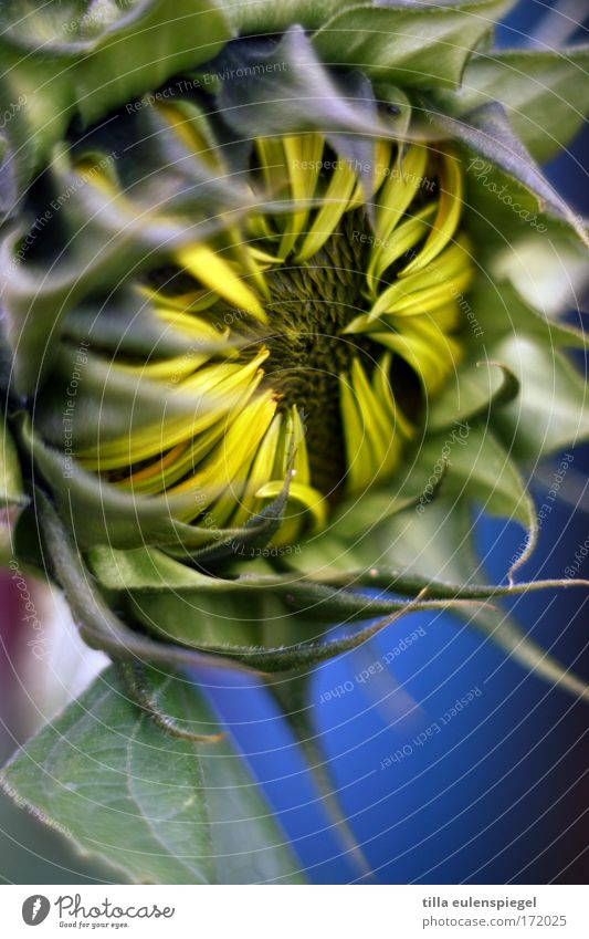 sunflower schön Blume grün blau Pflanze gelb Farbe träumen natürlich Sonnenblume positiv Vorsicht aufwachen Grünpflanze Naturliebe